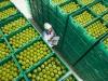Saraylı tarım elma